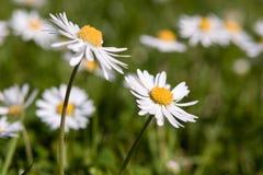 Η αγγλική Daisy στοκ εικόνες