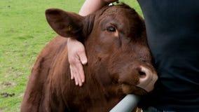 Η αγελάδα απολαμβάνει το ανθρώπινο αγκάλιασμα στοκ φωτογραφία