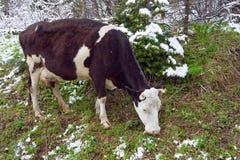 Η αγελάδα βόσκει σε ένα χιονώδες δάσος. Στοκ Εικόνα