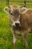 η αγελάδα βόσκει Στοκ εικόνες με δικαίωμα ελεύθερης χρήσης