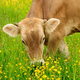 η αγελάδα βόσκει Στοκ Εικόνες