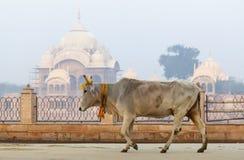 Η αγελάδα είναι ένα ιερό ζώο στο υπόβαθρο Kusum Sarovar Govardhan στοκ εικόνες