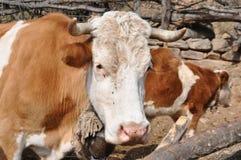 Η αγελάδα θέτει Στοκ Εικόνες