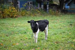 Η αγελάδα κάθεται στο λιβάδι το φθινόπωρο Στοκ φωτογραφία με δικαίωμα ελεύθερης χρήσης