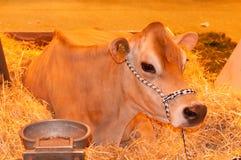 η αγελάδα καθισμένος Στοκ εικόνα με δικαίωμα ελεύθερης χρήσης