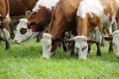η αγελάδα οδήγησε Στοκ εικόνες με δικαίωμα ελεύθερης χρήσης