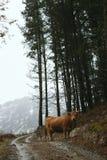 Η αγελάδα που τρώει τη χλόη στο βουνό στοκ φωτογραφία με δικαίωμα ελεύθερης χρήσης