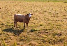 Η αγελάδα στο λιβάδι Στοκ Φωτογραφία