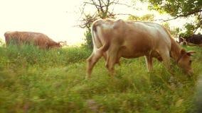 Η αγελάδα τρώει τη χλόη στο λιβάδι στο φωτεινό ηλιοβασίλεμα Τα βοοειδή τρώνε τη χλόη στο αγρόκτημα Βοοειδή αναπαραγωγής απόθεμα βίντεο