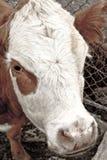 η αγελάδα Στοκ φωτογραφία με δικαίωμα ελεύθερης χρήσης