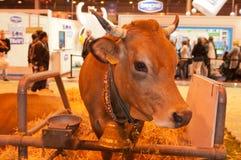 η αγελάδα Στοκ Φωτογραφία