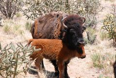 Η αγελάδα βισώνων Buffalo καλύπτει το μόσχο της με τις προσοχές ιδιαίτερες Στοκ Φωτογραφία