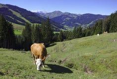 Η αγελάδα βόσκει στο αλπικό λιβάδι Στοκ Εικόνα