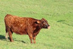 Η αγελάδα είναι στο λιβάδι Στοκ Εικόνες
