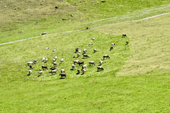 Η αγελάδα και η οικογένεια βούβαλων Στοκ Εικόνες
