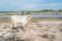 Η αγελάδα στον τομέα μετά από τη συγκομιδή στη Νοτιοανατολική Ασία, Ταϊλάνδη Στοκ Εικόνες