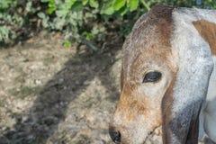 Η αγελάδα στον τομέα μετά από τη συγκομιδή στη Νοτιοανατολική Ασία, Ταϊλάνδη Στοκ Φωτογραφία