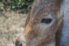 Η αγελάδα στον τομέα μετά από τη συγκομιδή στη Νοτιοανατολική Ασία, Ταϊλάνδη Στοκ φωτογραφία με δικαίωμα ελεύθερης χρήσης