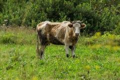 Η αγελάδα στο λιβάδι στοκ εικόνες