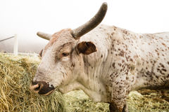 Η αγελάδα του Bull παίρνει το πρωί ταΐζοντας το αγρόκτημα χώρας της Ουάσιγκτον Στοκ φωτογραφία με δικαίωμα ελεύθερης χρήσης