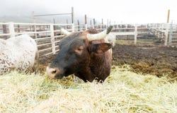 Η αγελάδα του Bull παίρνει το πρωί ταΐζοντας το αγρόκτημα χώρας της Ουάσιγκτον Στοκ Εικόνες