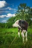 Η αγελάδα τρώει τη χλόη Στοκ Φωτογραφίες