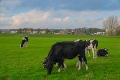 Η αγελάδα τρώει τη χλόη Στοκ εικόνα με δικαίωμα ελεύθερης χρήσης