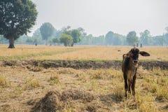 Η αγελάδα Στοκ Φωτογραφίες