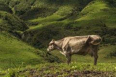 Η αγελάδα Στοκ εικόνες με δικαίωμα ελεύθερης χρήσης