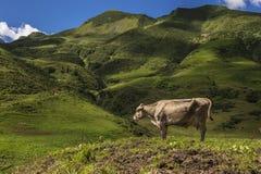 Η αγελάδα Στοκ Εικόνες