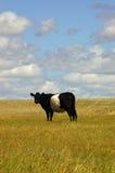 Η αγελάδα Oreo Στοκ Φωτογραφίες