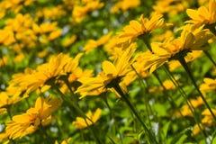 Η αγκινάρα της Ιερουσαλήμ, Sunroot, Topinambour, η γη Apple ή τα κίτρινα λουλούδια tuberosus Helianthus Στοκ εικόνες με δικαίωμα ελεύθερης χρήσης