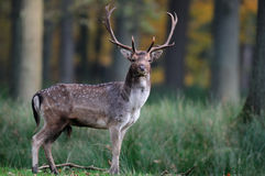 Η αγρανάπαυση buck κοιτάζει Στοκ Εικόνες