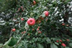 η αγροτική Apple με τα κόκκινα μήλα στο πράσινο υπόβαθρο Στοκ Εικόνα