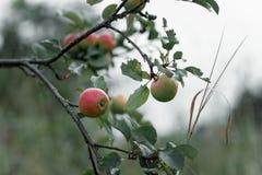 η αγροτική Apple με τα κόκκινα μήλα στο πράσινο υπόβαθρο Στοκ Φωτογραφίες