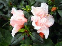 η αζαλέα ανθίζει το ροζ στοκ φωτογραφία