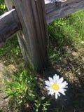 Η αισιόδοξη Daisy στοκ εικόνες