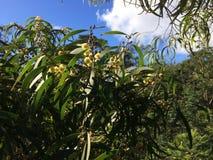 Η ακακία συγχέει το δέντρο που ανθίζει στο φαράγγι Waimea Kauai στο νησί, Χαβάη Στοκ φωτογραφίες με δικαίωμα ελεύθερης χρήσης