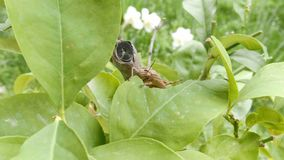 Η ακρίδα στο φυτό που τρώει το φύλλο, κλείνει επάνω Grasshopper που καταστρέφει την πράσινη χλωρίδα, μακροεντολή απόθεμα βίντεο