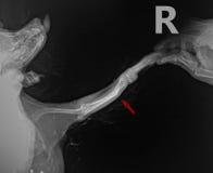Η ακτηνογραφία παρουσιάζει των ακτίνων X πλευρική επέκταση για το πόδι σπασίματος κόκκαλων στο σκυλί Chihuahua με το βέλος Στοκ φωτογραφία με δικαίωμα ελεύθερης χρήσης