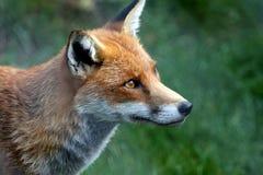 η αλεπού κοιτάζει επίμον&alp Στοκ Φωτογραφίες