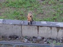 Η αλεπού που επηρεάστηκε με τη λύσσα ήρθε στους ανθρώπους στοκ εικόνα