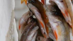 η αλιεία του πάγου βρίσκεται ακριβώς παγιδευμένος χειμώνας zander Αλιεία με τα κόκκινα πτερύγια που κρεμούν σε ένα σχοινί στη σει φιλμ μικρού μήκους