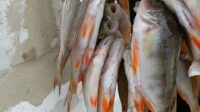η αλιεία του πάγου βρίσκεται ακριβώς παγιδευμένος χειμώνας zander Αλιεία με τα κόκκινα πτερύγια που κρεμούν σε ένα σχοινί στη σει απόθεμα βίντεο