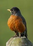 Η αμερικανικά Robin - migratorius Turdus Στοκ φωτογραφία με δικαίωμα ελεύθερης χρήσης