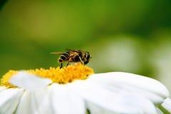 η αμερικανική μύγα αιωρείτ Στοκ Εικόνες