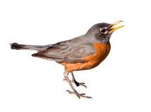 Η αμερικανική Robin που απομονώνεται στο άσπρο υπόβαθρο στοκ φωτογραφίες με δικαίωμα ελεύθερης χρήσης