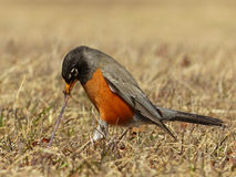 Η αμερικανική Robin που τραβά ένα σκουλήκι Στοκ Εικόνα