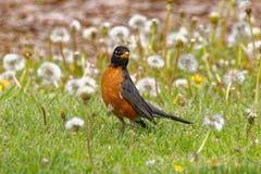 Η αμερικανική Robin στις πικραλίδες Στοκ εικόνα με δικαίωμα ελεύθερης χρήσης