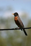 Η αμερικανική Robin στο ηλεκτροφόρο καλώδιο στοκ φωτογραφίες